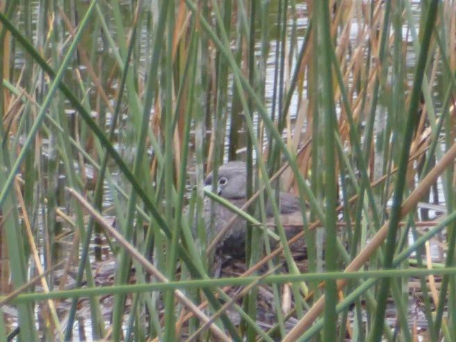 August 10, Pied-billed Grebe on Nest