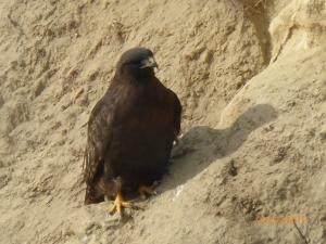 Calurus Red-Tailed Hawk