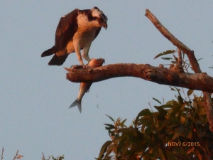 Osprey w/Stripped Mullet