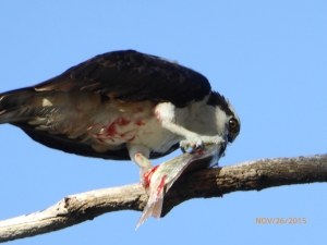 feeding OSPREY