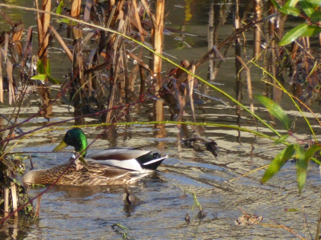 Mallards in flood waters 3