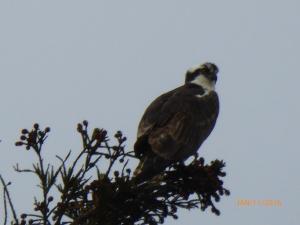 Osprey in Redwood tree