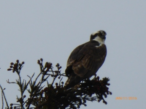 Osprey in Redwood tree