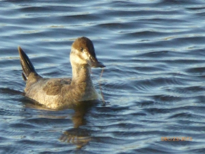 Perky tailed RUDDY DUCK