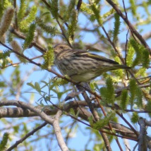 Pine Siskin, Threatened, in willow tree near Pump Track area