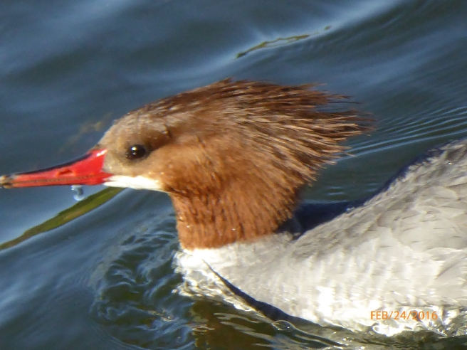 Breaking the mold female C. MERGANSER.JPG