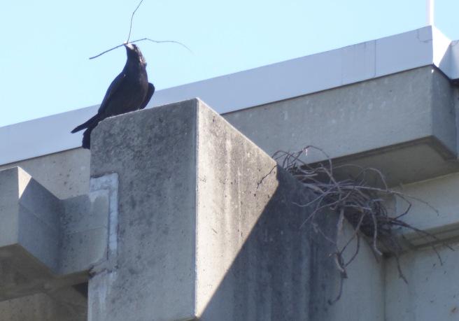 Raven cropped P1060773