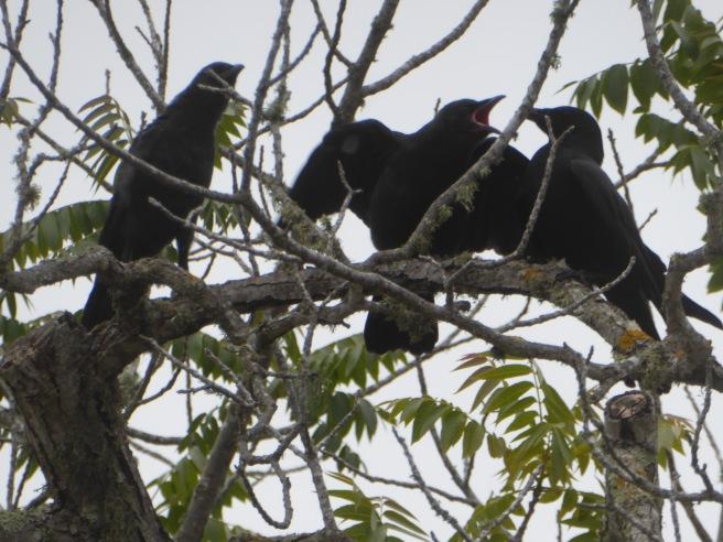 crow juvenile 2 gape P1080157