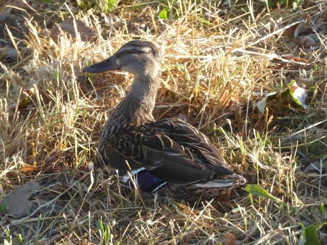 CVS duck 1 P1070949