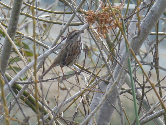 Song sparrow San Lorenzo River Oct 2014