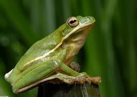green gree frog
