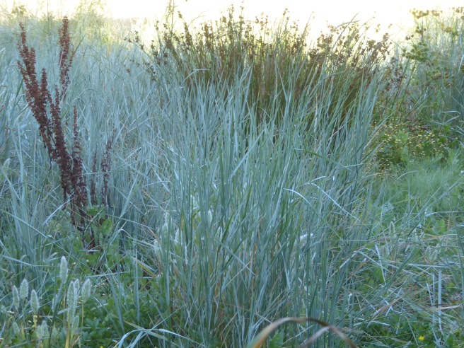 juncus & blue grassP1080569