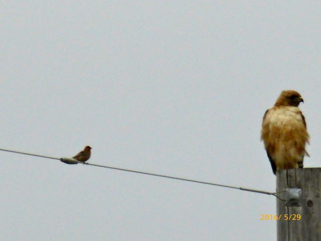 male HOUSEFINCH ignored by RED-TAIL HAWK