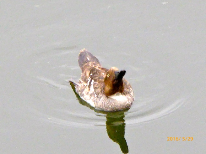 female COMMON GOLDENEYE with drooping wing