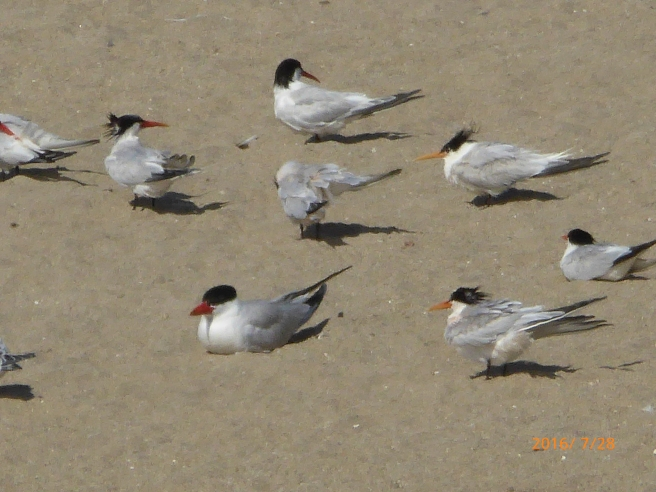 CASPIAN & ELEGANT TERNS are here