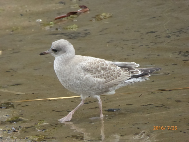 juv. MEW gull, the record setter