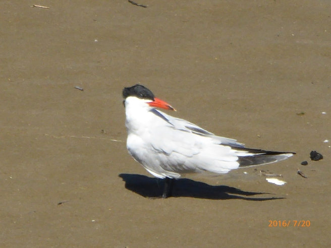 CASPIAN TERN listening to no paddle news