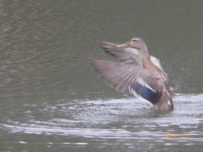 here she is: fem. Mallard diver...