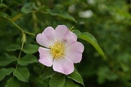 wild rose blossom(googled)
