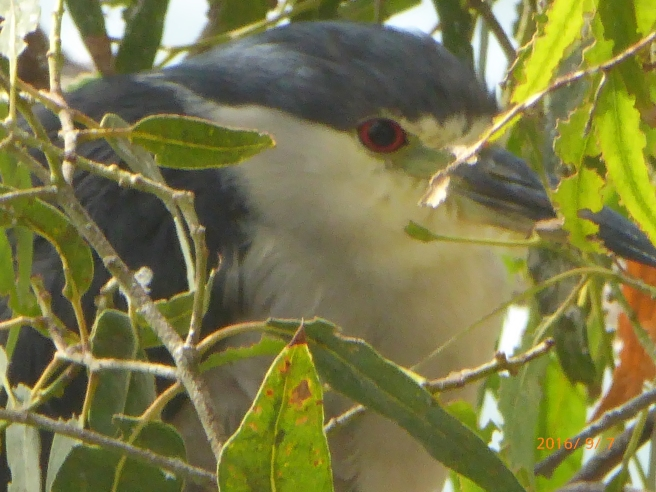 BLACK-crowned NIGHT HERON hiding from Flood Control work...