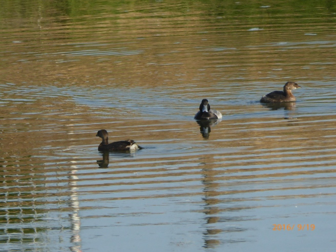 PIED-billed GREBES w/their scrubbed friend, the GREATER SCAUP