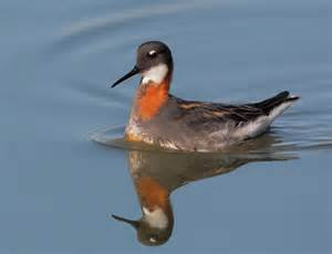 female RED-necked PHALAROPE(goggled pic)