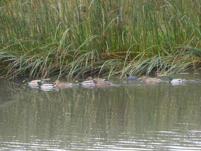 coots-with-mallards