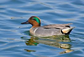 green-necked-teal