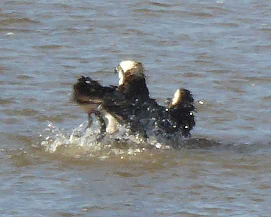 bathing-osprey