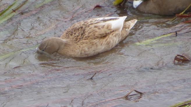 strange-duck