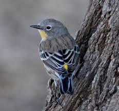 audubons-female
