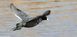 coot-flying