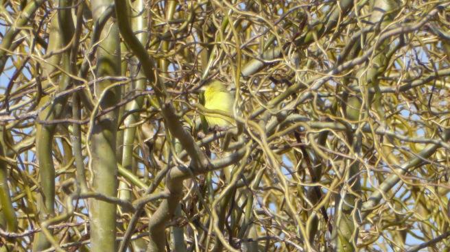 Lesser Female Goldfinch brightP1120571
