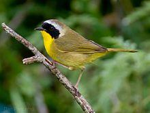 Common_Yellowthroat_by_Dan_Pancamo