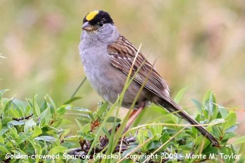 sparrow_golden-crowned_spring_nome-alaska_1a