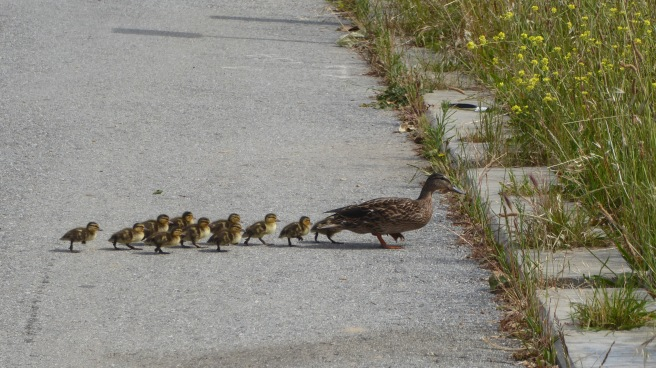 Ten Baby Mallards
