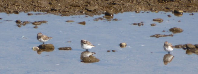 cropped Western sandpiper