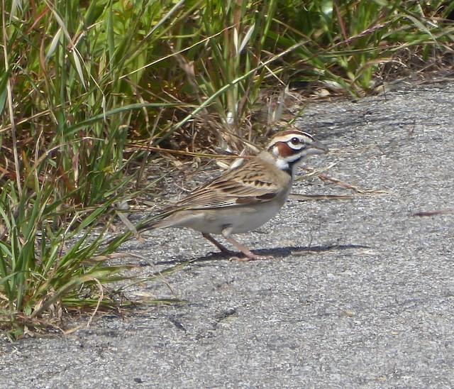 Lark Sparrow - Gary