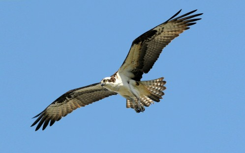 Osprey-Pandion-haliaetus-flight-over-Lake-Wylie-South-Carolina-Desktop-Wallpaper-2560x1600