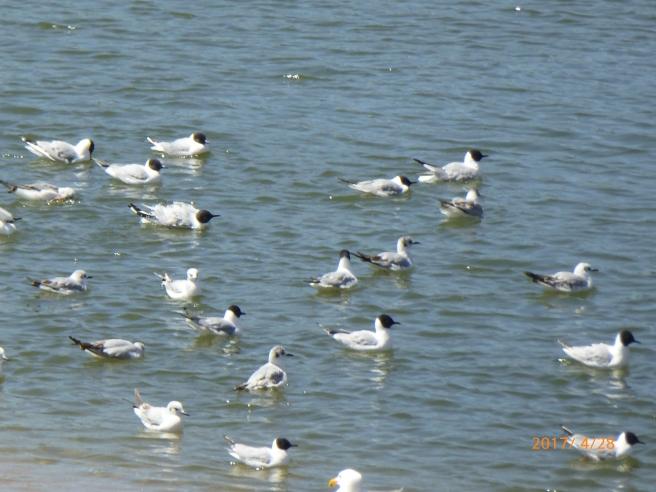 BONAPARTE'S gull in breeding attire...