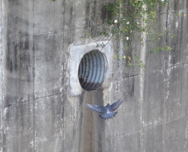 Pigeon Approachs Nesting Area