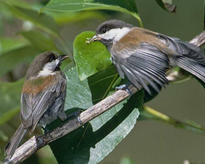 Chestnut-backed_Chickadee with fledgling_l09-20-003_l_1