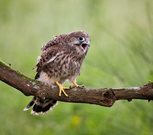 kestrel juvenile