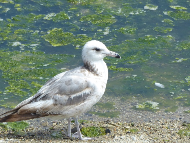 California Gull Immature jpg