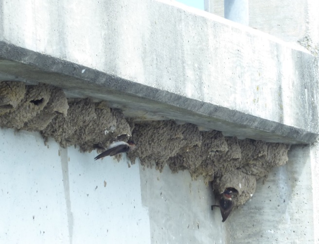 Cliff Swallow Late Nests