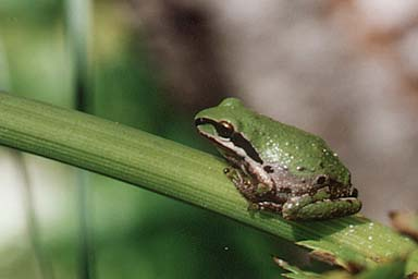 pacific_treefrog