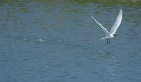Tern taking off