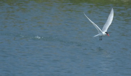 Tern taking off