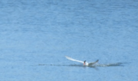 Tern Touching Down