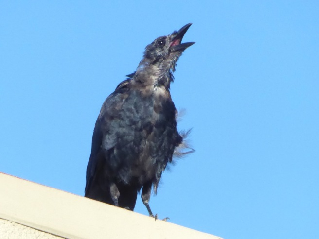 Crow juvenile 1